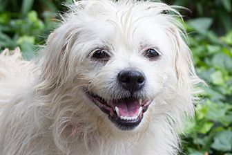 Terrier (Unknown Type, Small) Mix Dog for adoption in Encino, California - Brandy