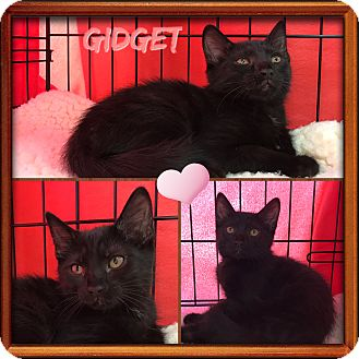 Domestic Shorthair Kitten for adoption in Jeffersonville, Indiana - Gidget
