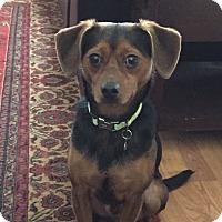 Adopt A Pet :: pablo - Ashburn, VA