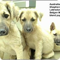 Adopt A Pet :: Bailey, Kahlua, Pina Colada - El Cajon, CA