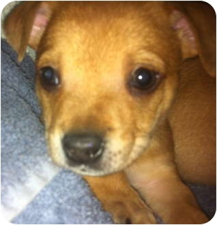 Chihuahua/Beagle Mix Puppy for adoption in Las Vegas, Nevada - Graham