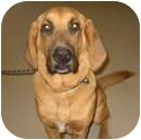 Bloodhound Mix Dog for adoption in Alberta Beach, Alberta - Wallace