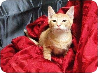 Domestic Shorthair Kitten for adoption in Orlando, Florida - TIfton