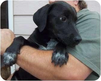 Labrador Retriever Mix Puppy for adoption in Westminster, Colorado - Mau