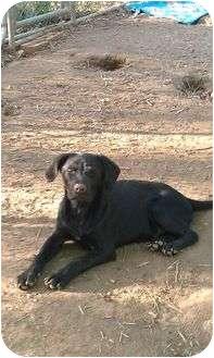 Labrador Retriever Mix Puppy for adoption in Windham, New Hampshire - Devon (reduced $100)