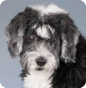 Tibetan Terrier Dog for adoption in Chicago, Illinois - Roger