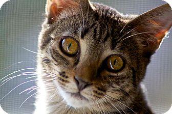 Domestic Shorthair Kitten for adoption in Marietta, Georgia - Adele