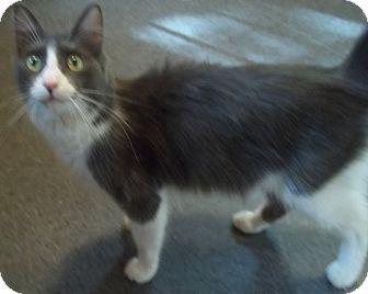 Ragdoll Cat for adoption in Witter, Arkansas - ANNIE (RAG-COON)