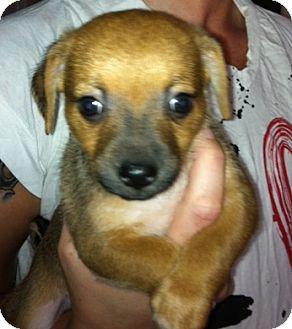 Dachshund Mix Puppy for adoption in Nuevo, California - Mishka