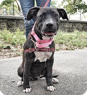 American Pit Bull Terrier Mix Dog for adoption in New York, New York - Xena