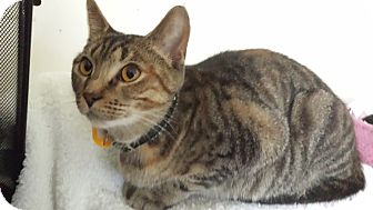 Domestic Shorthair Cat for adoption in Orillia, Ontario - Kiwi