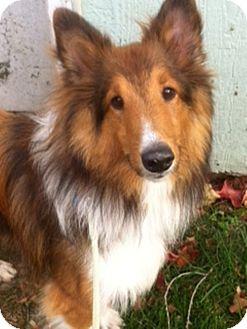 Sheltie, Shetland Sheepdog Puppy for adoption in Indiana, Indiana - Buddie