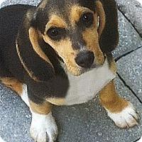 Adopt A Pet :: Abby - North Palm Beach, FL