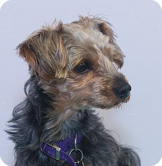 Yorkie, Yorkshire Terrier Mix Dog for adoption in Elmwood Park, New Jersey - Manny