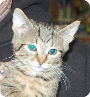 Domestic Shorthair Kitten for adoption in Brooklyn, New York - Vitani