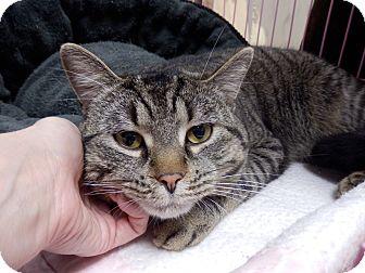 Domestic Shorthair Cat for adoption in Webster, Massachusetts - Roman