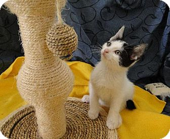 Domestic Shorthair Kitten for adoption in Orlando, Florida - Van