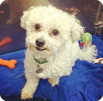 Poodle (Miniature) Mix Dog for adoption in Oak Park, Illinois - Elvis