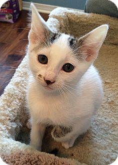 Domestic Shorthair Kitten for adoption in Irvine, California - Pebbles