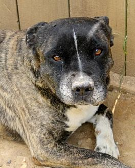 Pit Bull Terrier Dog for adoption in Memphis, Tennessee - Hutch