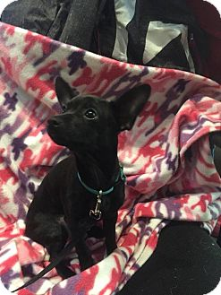 Miniature Pinscher/Chihuahua Mix Dog for adoption in Roslyn, Washington - Olive