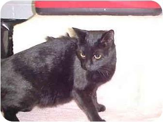 Domestic Shorthair Cat for adoption in Brenham, Texas - Trudy