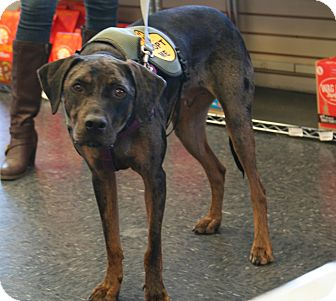 Catahoula Leopard Dog Dog for adoption in Warren, Maine - Dalton - CT