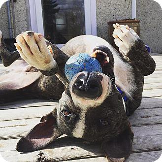 Whippet/Labrador Retriever Mix Dog for adoption in Edmonton, Alberta - Romo