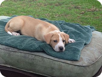 Australian Cattle Dog Mix Puppy for adoption in New York, New York - Bonner