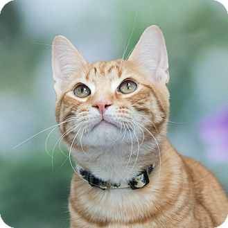 Domestic Shorthair Cat for adoption in Houston, Texas - Fisher