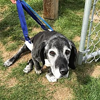 Basset Hound Mix Dog for adoption in Cincinnati, Ohio - Clara