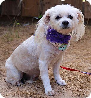 Maltese Dog for adoption in Lacey, Washington - Piper