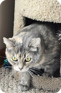 Domestic Mediumhair Cat for adoption in Livonia, Michigan - C12 Litter-Trixie (Mom)