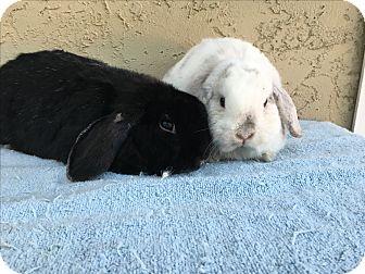 Mini Lop for adoption in Bonita, California - Wilson & Nelson
