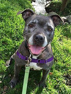 Pit Bull Terrier Mix Dog for adoption in Petaluma, California - Chloe