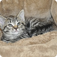 Adopt A Pet :: LuLu (Bengal Mix) - New Smyrna Beach, FL