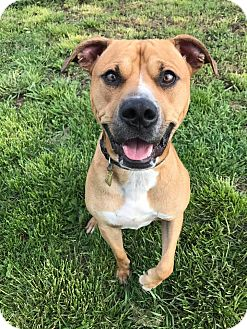 American Pit Bull Terrier Mix Dog for adoption in Maryville, Missouri - Reno
