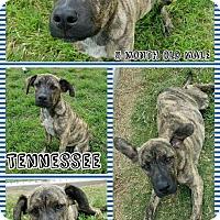 Adopt A Pet :: Tennessee - oklahoma city, OK