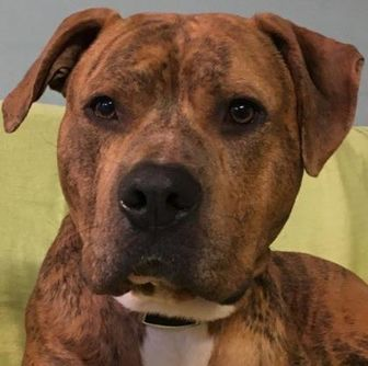 American Pit Bull Terrier Mix Dog for adoption in Kansas City, Missouri - Tony Tiger