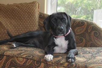 Labrador Retriever Mix Dog for adoption in Wellington, Florida - ANNIE MAE