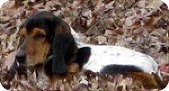 Basset Hound Dog for adoption in Charleston, South Carolina - Ginger