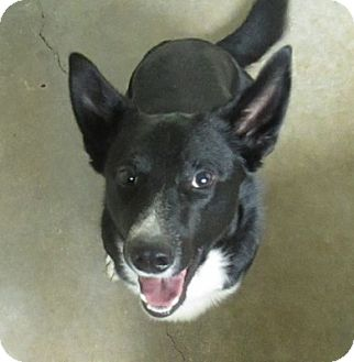 Corgi/Border Collie Mix Dog for adoption in Lloydminster, Alberta - Dwight