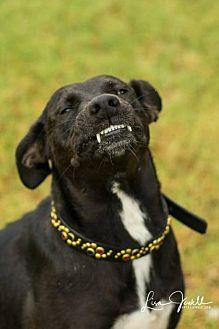 Labrador Retriever Mix Dog for adoption in chouteau, Oklahoma - Angel