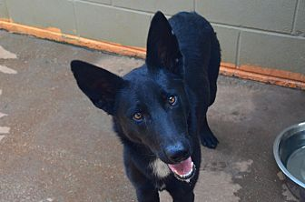 German Shepherd Dog Mix Dog for adoption in Greeneville, Tennessee - Blackjack
