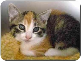 Calico Kitten for adoption in San Clemente, California - JASMINE