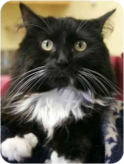 Domestic Longhair Cat for adoption in Phoenix, Oregon - Trudie