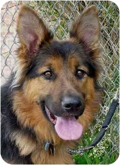German Shepherd Dog Mix Dog for adoption in Los Angeles, California - Oso von Obermeyer