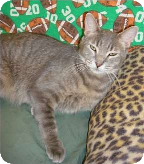 American Shorthair Cat for adoption in Lake Charles, Louisiana - Silver