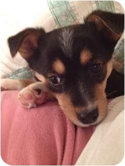Corgi/Chihuahua Mix Puppy for adoption in ST LOUIS, Missouri - Little Boy