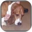 Basset Hound Dog for adoption in Marietta, Georgia - Wilbur